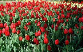 Tulipan (Tulipa `Parade`).JPG