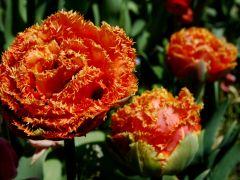 Tulipan Tulipa 'Esprit'.JPG