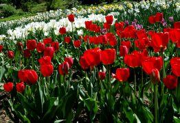 Tulipay (Tulipa)1.JPG