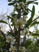 Prinsepia uniflora.JPG