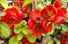Chaenomeles `Crimson and Gold` (2).JPG