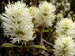 Fothergilla major 2.JPG