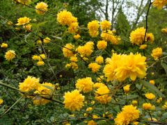 Kerria japonica `Pleniflora`.JPG