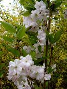 Prunus `Amanogawa`.JPG