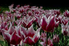 Tulipan (Tulipa `Claudia`).JPG