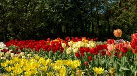 Tulipany (Tulipa).JPG