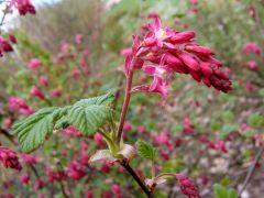 Ribes sanguineum - porzeczka krwista.JPG