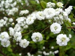 Spiraea prunifolia (1).JPG