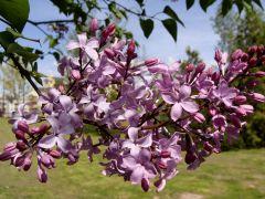 Syringa vulgaris `Mirabeau`.JPG