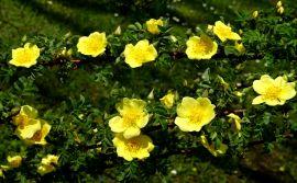 Rosa xanthina `Canary Bird`.JPG