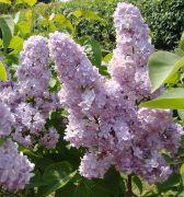 Syringa vulgaris ` Michel Buchner`.JPG