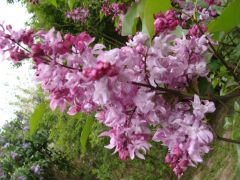 Syringa vulgaris `India`.JPG