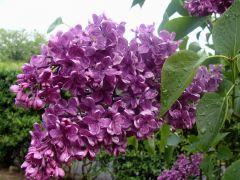 Syringa vulgaris `Andenken an Ludwig Späth`.JPG