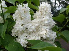 Syringa vulgaris `Edith Cavel`.JPG
