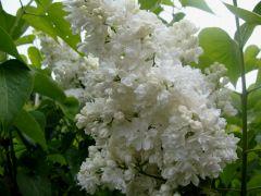 Syringa vulgaris `Mme Lemoine`.JPG
