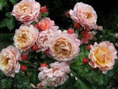 Rosa `Marie Curie` (2).JPG