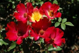 131936-rosa-coctail-.jpg