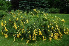 Rosa foetida `Persian Yellow`.JPG