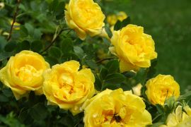 Rosa foetida `Persian Yellow`_3.JPG