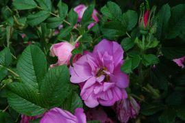 Rosa rugosa `Adam Chodun`.JPG