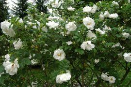 Rosa rugosa `Kórnik`.JPG