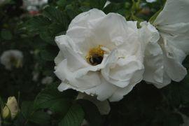 Rosa rugosa `Kórnik`_2.JPG