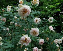 Rosa spinosissima `Fruhlingsduft`.JPG