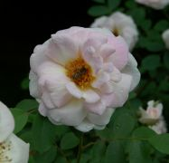 Rosa spinosissima `Fruhlingsduft`_2.JPG