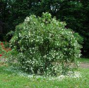 Rosa spinosissima `Plena`.JPG