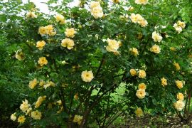 Rosa `Maigold`.JPG