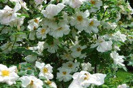 Rosa `Nevada`_2.JPG