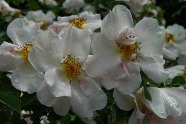 Rosa `Nevada`_3.JPG