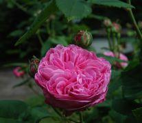Rosa centifolia.JPG