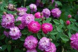 Rosa centifolia `Parvifolia`.JPG