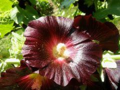 Alcea rosea `Nigra`.jpg