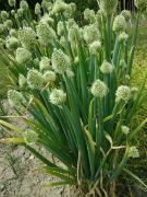 Allium fistulosum.jpg