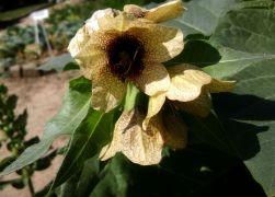 hyoscyamus niger.jpg