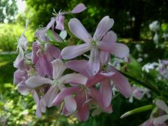Saponaria officinalis.jpg