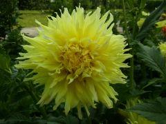Constalia Lemon.jpg