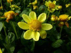 Topmix Yellow.jpg