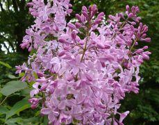 Syringa vulgaris `Buffon`.JPG