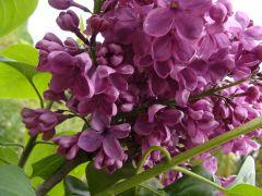 Syringa vulgaris `Massena`.JPG