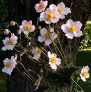 Anemone hupehensis.jpg