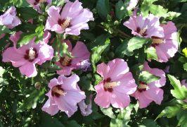 Hibiscus syriacus_2.JPG