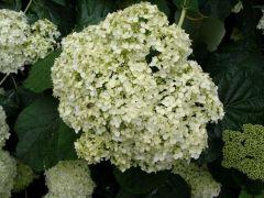 Hydrangea-arborescensh-f-sterilis.jpg