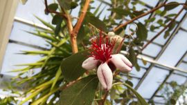 Acca sellowiana-Feijoa.jpg