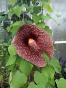 Aristolochia grandiflora-Kokornak olbrzymi.jpg