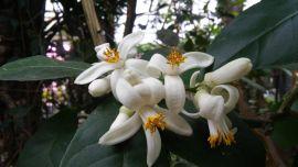 Citrus x pyriformis-Cytryna skierniewicka.jpg