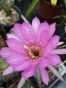 Echinopsis sp. LAU 400.jpg