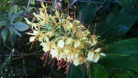 Hedychium gardnerianum-Wianecznik Gardnera.jpg